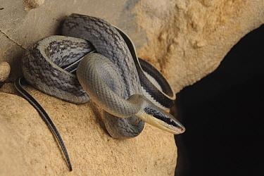 Taiwan Beauty Snake (Elaphe taeniura) in cave, Gunung Mulu National Park, Malaysia  -  Ch'ien Lee