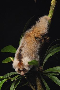 Slow Loris (Nycticebus kayan) juvenile, Gunung Mulu National Park, Malaysia  -  Ch'ien Lee
