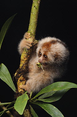 Slow Loris (Nycticebus kayan) juvenile feeding on insect, Gunung Mulu National Park, Malaysia  -  Ch'ien Lee