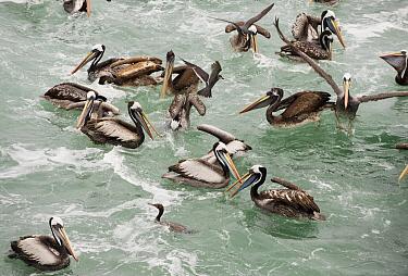 Peruvian Pelican (Pelecanus thagus) and mixed seabird feeding flock, south of Lima, Peru  -  Kevin Schafer