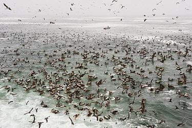 Peruvian Pelican (Pelecanus thagus) with fishermen and mixed seabird feeding flock, south of Lima, Peru  -  Kevin Schafer