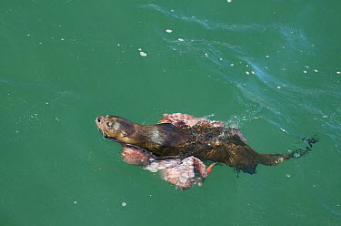 Marine Otter (Lontra felina) carrying large octopus, Chiloe Island, Chile  -  Kevin Schafer