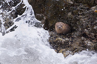 Marine Otter (Lontra felina) young in heavy surf, Chiloe Island, Chile  -  Kevin Schafer