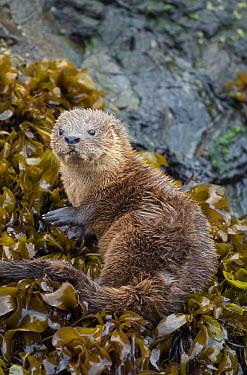 Marine Otter (Lontra felina) on kelp, Chiloe Island, Chile  -  Kevin Schafer