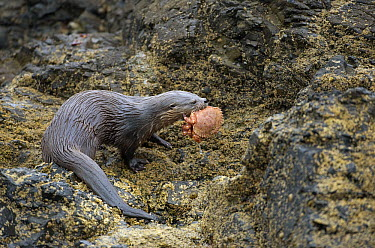 Marine Otter (Lontra felina) on shore carrying crab prey, Chiloe Island, Chile  -  Kevin Schafer