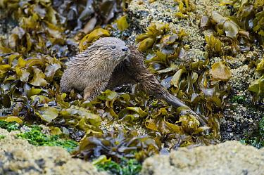 Marine Otter (Lontra felina) in kelp bed, Chiloe Island, Chile  -  Kevin Schafer