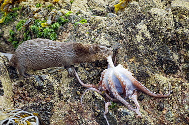 Marine Otter (Lontra felina) female eating octopus on shore, Chiloe Island, Chile  -  Kevin Schafer