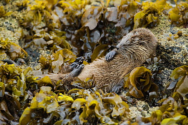 Marine Otter (Lontra felina) resting in kelp after a big meal, Chiloe Island, Chile  -  Kevin Schafer