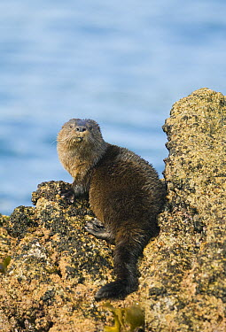 Marine Otter (Lontra felina) on shore, Chiloe Island, Chile  -  Kevin Schafer