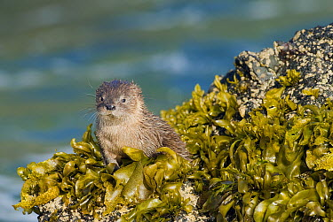 Marine Otter (Lontra felina) in kelp on shore, Chiloe Island, Chile  -  Kevin Schafer