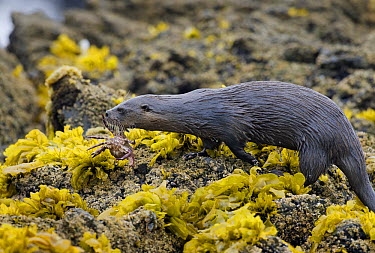 Marine Otter (Lontra felina) female carrying crab to pup, Chiloe Island, Chile  -  Kevin Schafer