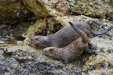 Marine Otter (Lontra felina) mother and pup on shore, Chiloe Island, Chile  -  Kevin Schafer