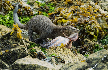 Marine Otter (Lontra felina) female carrying octopus, Chiloe Island, Chile  -  Kevin Schafer
