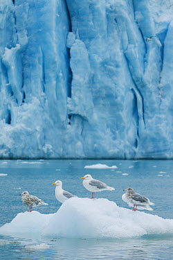 Glaucous Gull (Larus hyperboreus) group in front of Monaco Glacier, Leifdefjorden, Svalbard, Norway  -  Kevin Schafer