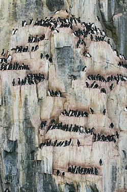 Brunnich's Guillemot (Uria lomvia) nesting colony, Alkefjellet, Svalbard, Norway  -  Kevin Schafer