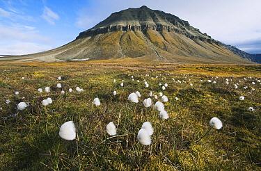 White Cottongrass (Eriophorum scheuchzeri) flowering and autumn tundra, Svalbard, Norway  -  Kevin Schafer