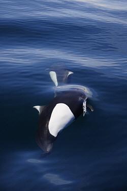 Dall's Porpoise (Phocoenoides dalli) pair bow riding, Prince William Sound, Alaska  -  Hiroya Minakuchi