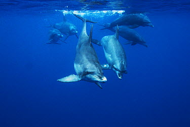 Indo-pacific Bottlenose Dolphin (Tursiops aduncus) group swimming, Ogasawara Island, Japan  -  Hiroya Minakuchi
