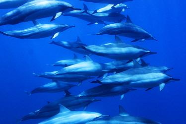 Spinner Dolphin (Stenella longirostris) pod, Ogasawara Island, Japan  -  Hiroya Minakuchi