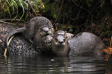 North American River Otter (Lontra canadensis) family, Prince William Sound, Alaska  -  Hiroya Minakuchi
