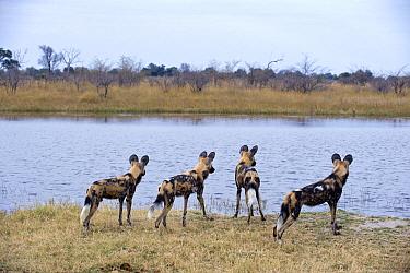 African Wild Dog (Lycaon pictus) group watching flood water, northern Botswana  -  Suzi Eszterhas
