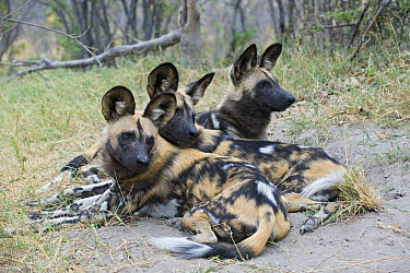 African Wild Dog (Lycaon pictus) pack members huddled together for warmth, northern Botswana  -  Suzi Eszterhas