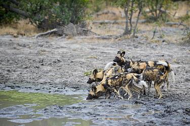 African Wild Dog (Lycaon pictus) group drinking at waterhole, northern Botswana  -  Suzi Eszterhas