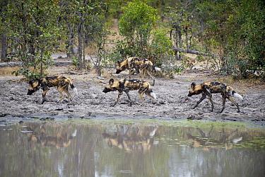 African Wild Dog (Lycaon pictus) passing waterhole while hunting, northern Botswana  -  Suzi Eszterhas