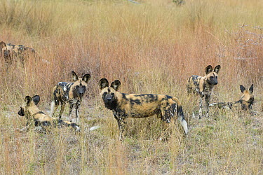African Wild Dog (Lycaon pictus) pack, northern Botswana  -  Suzi Eszterhas