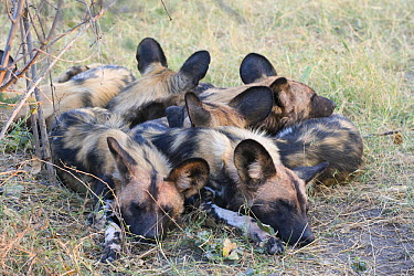African Wild Dog (Lycaon pictus) pack members sleeping together for warmth, northern Botswana  -  Suzi Eszterhas