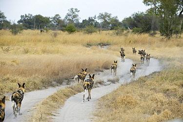 African Wild Dog (Lycaon pictus) pack using dirt road while hunting, northern Botswana  -  Suzi Eszterhas