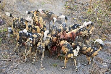 African Wild Dog (Lycaon pictus) pack feeding on Warthog (Phacochoerus africanus), northern Botswana  -  Suzi Eszterhas