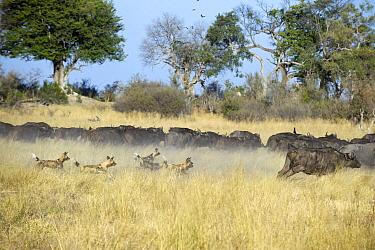 African Wild Dog (Lycaon pictus) pack chasing Cape Buffalo (Syncerus caffer), northern Botswana  -  Suzi Eszterhas