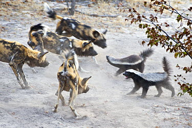 African Wild Dog (Lycaon pictus) pack facing off with two Honey Badgers(Mellivora capensis), northern Botswana  -  Suzi Eszterhas