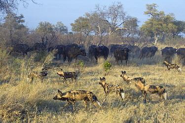 African Wild Dog (Lycaon pictus) pack facing off Cape Buffalo (Syncerus caffer) herd, northern Botswana  -  Suzi Eszterhas