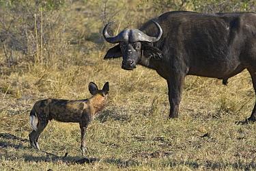African Wild Dog (Lycaon pictus) facing off with Cape Buffalo (Syncerus caffer), northern Botswana  -  Suzi Eszterhas