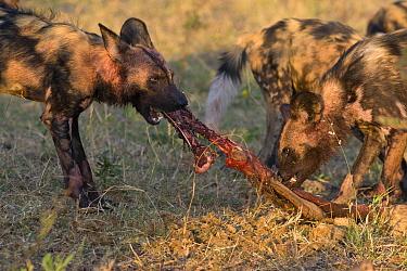African Wild Dog (Lycaon pictus) feeding, northern Botswana  -  Suzi Eszterhas