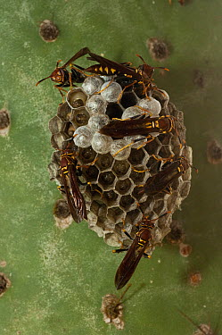 Paper Wasp (Polistes versicolor), an introduced species, group starting to build a hive, Puerto Ayora, Santa Cruz Island, Galapagos Islands, Ecuador  -  Pete Oxford