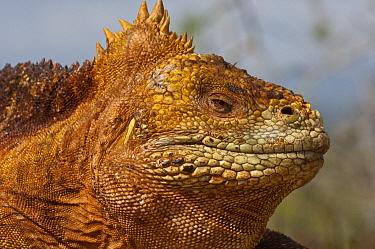 Galapagos Land Iguana (Conolophus subcristatus) portrait, Baltra Island, Galapagos Islands, Ecuador  -  Pete Oxford