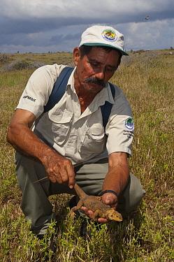 Galapagos Land Iguana (Conolophus subcristatus) juvenile being released, individual came from captive breeding program, Baltra Island, Galapagos Islands, Ecuador  -  Pete Oxford