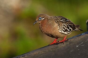 Galapagos Dove (Zenaida galapagoensis), Puerto Ayora, Santa Cruz Island, Galapagos Islands, Ecuador  -  Pete Oxford