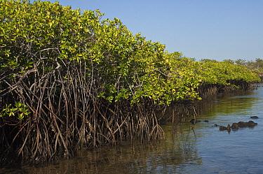 Red Mangrove (Rhizophora mangle) forest, Santa Cruz Island, Galapagos Islands, Ecuador  -  Pete Oxford