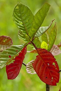 Peruvian Bark (Cinchona succirubra), an introduced species with red and green leaves, highlands of Santa Cruz Island, Galapagos Islands, Ecuador  -  Pete Oxford