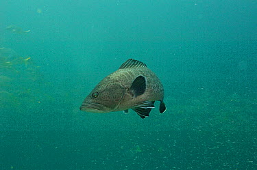 Sailfin Grouper (Mycteroperca olfax), Galapagos Islands, Ecuador  -  Pete Oxford