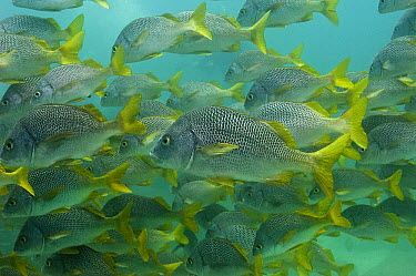 Yellow-tailed Grunt (Anisotremus interruptus) school off of Wolf Island, Galapagos Islands, Ecuador  -  Pete Oxford