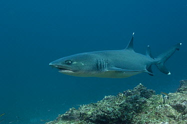 White-tip Reef Shark (Triaenodon obesus) off of Wolf Island, Galapagos Islands, Ecuador  -  Pete Oxford