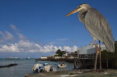 Great Blue Heron (Ardea herodias) with town and boats in background, Puerto Ayora, Santa Cruz Island, Galapagos Islands, Ecuador  -  Pete Oxford