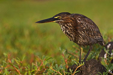 Green-backed Heron (Butorides striatus) juvenile, Puerto Ayora, Santa Cruz Island, Galapagos Islands, Ecuador  -  Pete Oxford
