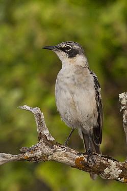 Galapagos Mockingbird (Nesomimus parvulus), Santa Cruz Island, Galapagos Islands, Ecuador  -  Pete Oxford