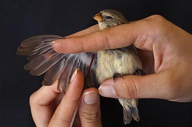Small Tree-Finch (Camarhynchus parvulus) studied for avian pox having blood drawn, highlands of Santa Cruz Island, Galapagos Islands, Ecuador  -  Pete Oxford